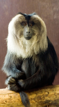 lion-tailed-macaque.jpg